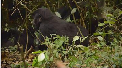 DRC: Kahuzi-Biega National Park endangered