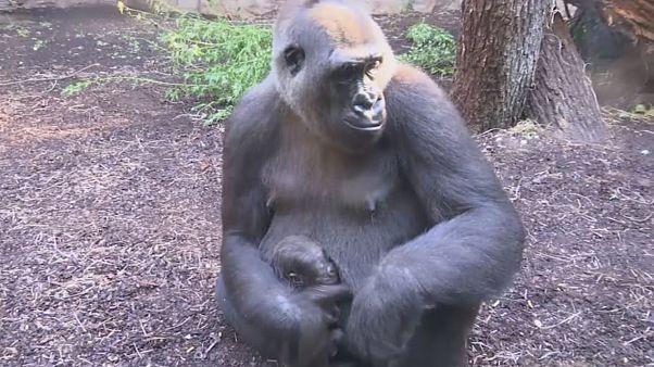 Frankfurt'ta bir hayvanat bahçesinde yavru gorilla