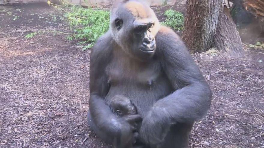 Frankfurt: Gorilla-Baby verzaubert Zoo-Besucher
