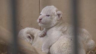 Polonya'da beyaz aslan sevinci