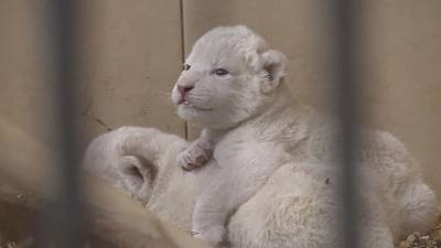 Four rare white lions born in Polish zoo
