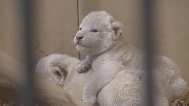 Naissance de quatre lionceaux dans un zoo polonais