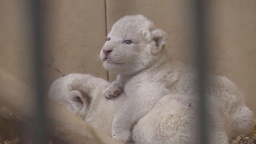 Four rare white lions born in Polish zoo