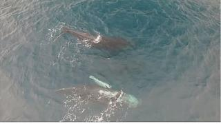 Endangered humpback whales of Madagascar