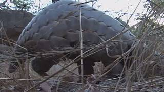African poachers threaten pangolins