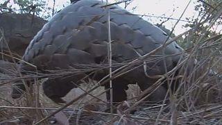 Le pangolin, nouvelle cible de choix des braconniers