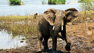 African elephant numbers hit 25-year lows