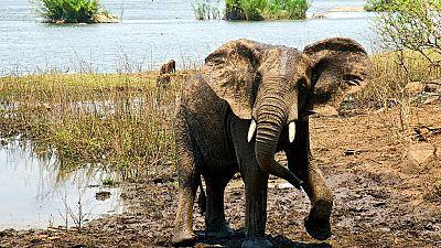 La population des éléphants d'Afrique au plus bas depuis 25 ans (UICN)