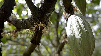 Côte d'Ivoire : nouvelle augmentation du prix du kilogramme de cacao aux producteurs