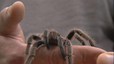 El veneno de algunas arañas tiene propiedades medicinales