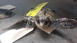 190 sea turtles found frozen to death along Cape Cod