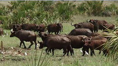 Afrique : conflits hommes-animaux, les écologistes proposent des réformes
