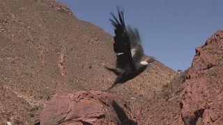 طائر الكوندور يتعافى ويعود إلى سماء الأنديز