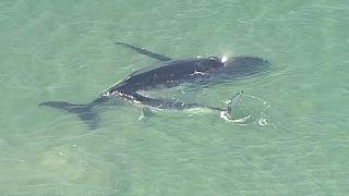 Rührendes Walbkalb rettet Mutter das Leben