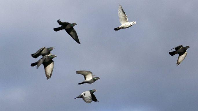 A letartóztatott galamb - avagy állati kémek