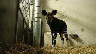 Okapi birth in Denmark