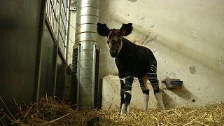 La nascita di un okapi in Danimarca