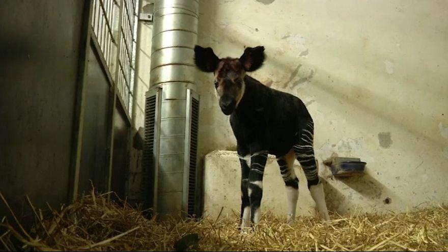 O primeiro Okapi a nascer na Dinamarca