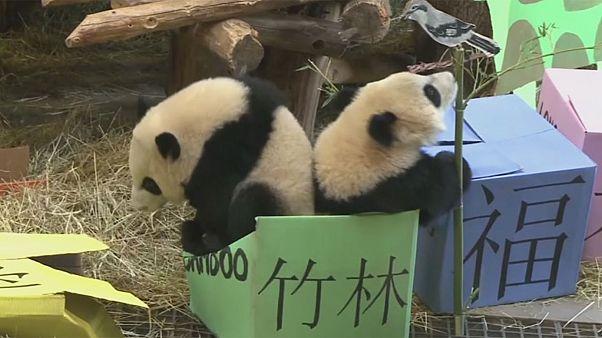 كندا: احتفال بعيد ميلاد صغيري الباندا جيا بانبان وجيا يويو