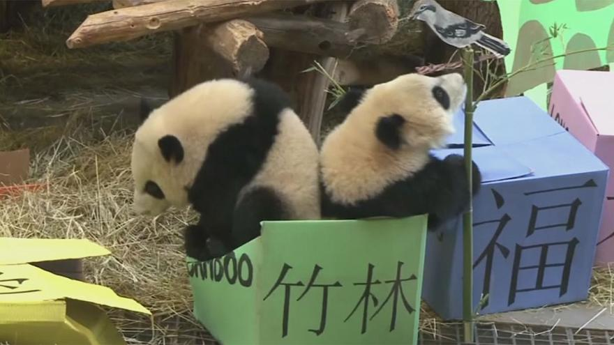 Canada: Birthday party for two Pandas