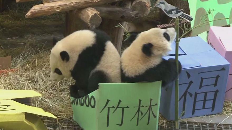 Canadá celebra el cumpleaños de dos osos panda gigantes