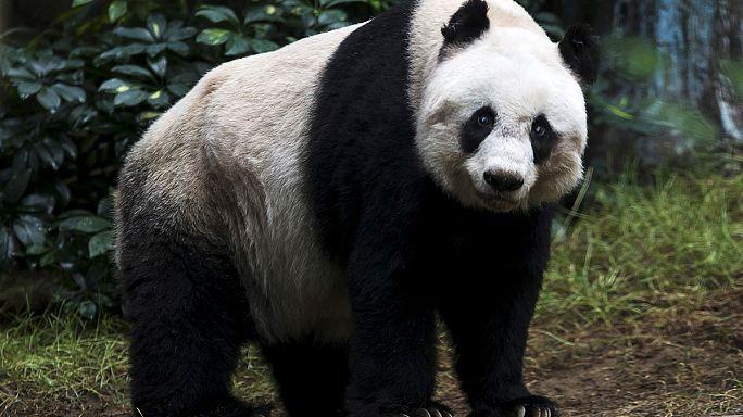 Panda mais velha em cativeiro falece em Hong Kong