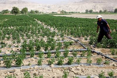 Jordanian farmer Sameer Mahadin tends to his chili crop. His family\'s farm once sat on the southern shores of the Dead Sea, but the water had now evaporated.