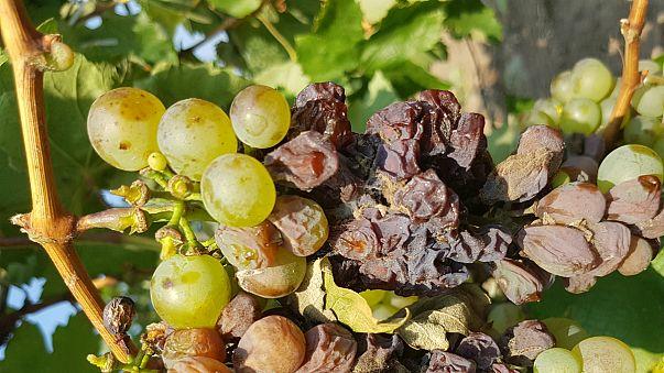 Háborognak a szőlősgazdák Tokaj-Hegyalján