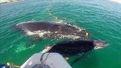 Humpback whale calf freed from a shark net in Australia
