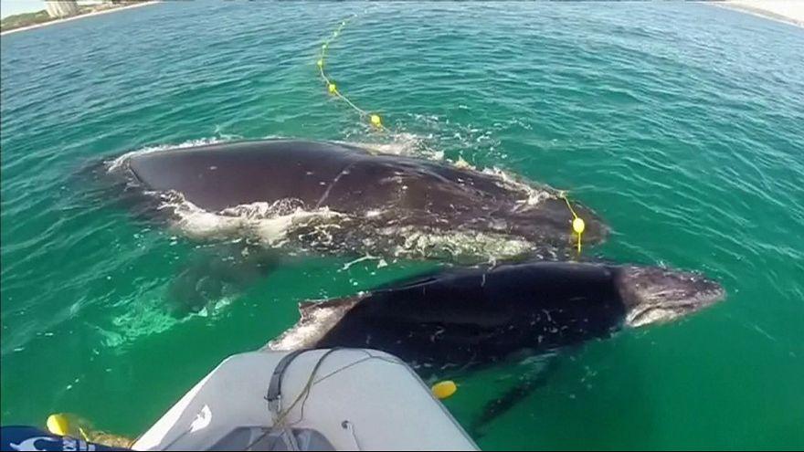 Ağlara takılan kambur balina annesinin desteğiyle kurtarıldı