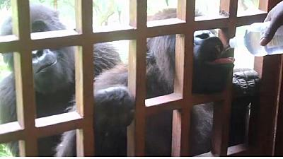 DRC: Protecting mountain gorillas