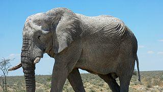 Kenya: un touriste belge tué par un éléphant