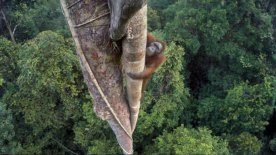 "[Galeria] Orangotango que abraça árvore ""ganha"" Wildlife Photographer of the Year 2016"