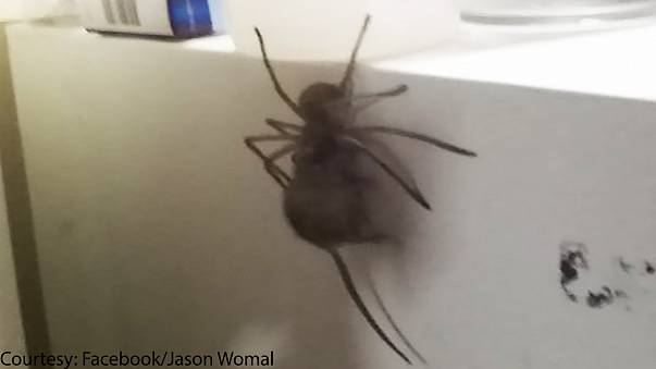 Video: Not for arachnophobes! Huntsman spider munches on dead mouse