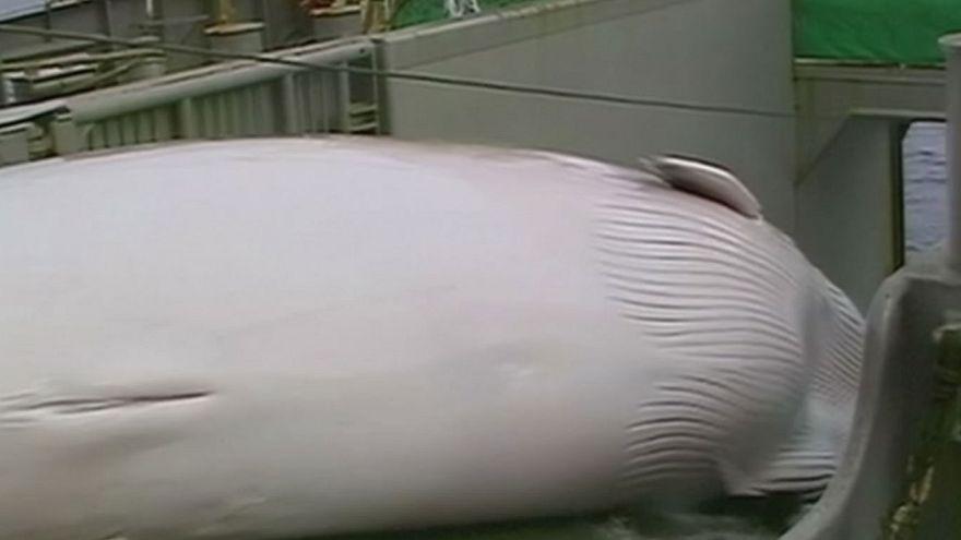 Partisans et adversaires de la chasse à la baleine s'affrontent en Slovénie