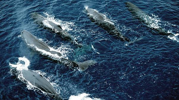 South Atlantic safe area for whales is harpooned