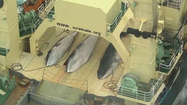 Japón, Noruega e Islandia vuelven a bloquear la creación de un santuario para las ballenas