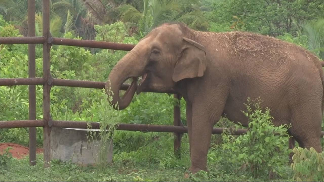 Maia e Guida: reformadas do circo num santuário para elefantes