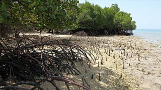 Conserving mangrove forests in Senegal