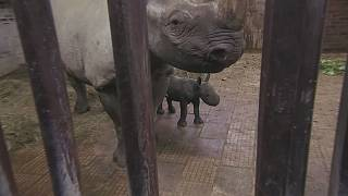 Czech zoo celebrates birth of rare black rhino