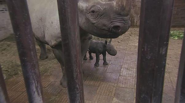 Un nouveau petit rhinocéros d'une espèce menacée dans un zoo tchèque