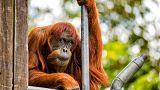 El orangután más viejo del mundo