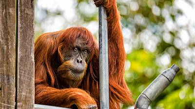 Puan the orangutan is king of the swingers