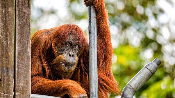 Il più anziano orango del mondo vive nello zoo di Perth