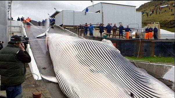Baleines : le Japon sous pression