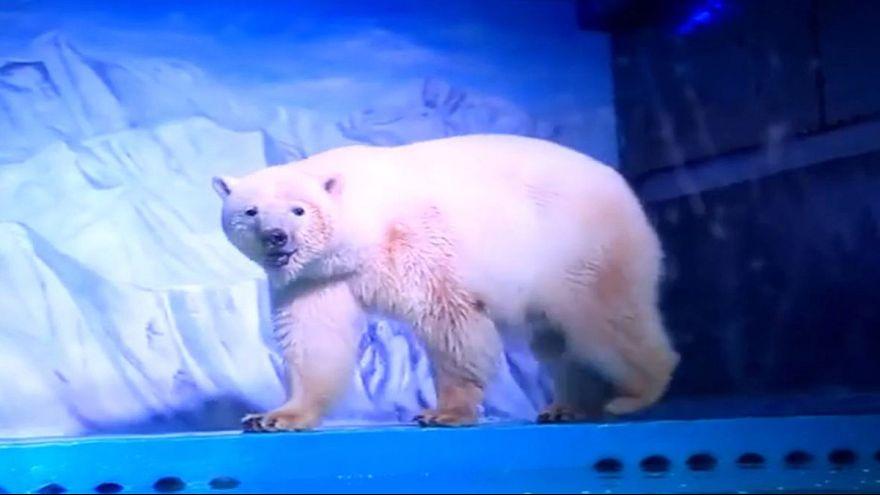 Video: Meet Pizza the world's 'saddest polar bear'