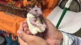 El nuevo traje de Silky, el hamster desnudo