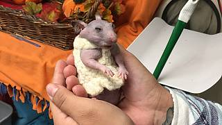 Silky the naked hamster