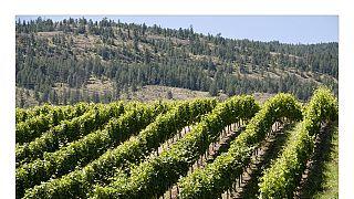 En Tunisie, le vin pourrait constituer un business d'avenir