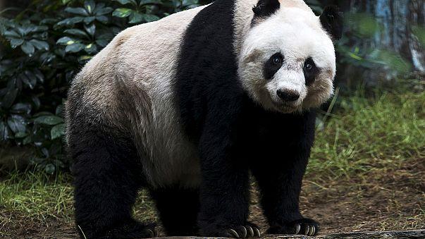 Panda hayvanat bahçesindeki meraklı ziyaretçiye saldırdı